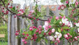 appelboom detail (foto Miep Bos)